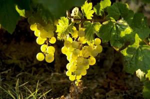 viticultors_catalans